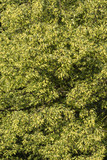 Vineing lime flowers on the tree.