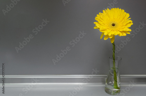 Yellow gerbera daisy flower in glass vase on the table on gray background with copy space.