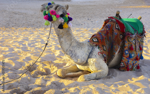 Fotobehang Kameel Bedouin camel, tied with a long rope lies on a sandy beach near the sea against a background of yellow sand. where no one surrounds. The concept of oriental oriental culture. Summer, vacation, travel