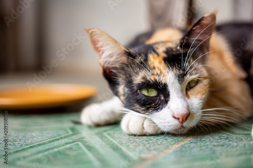 thai cat relaxed. - 209308014