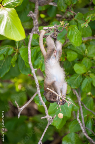 Fotobehang Aap Macaque monkey, eating, Thailand