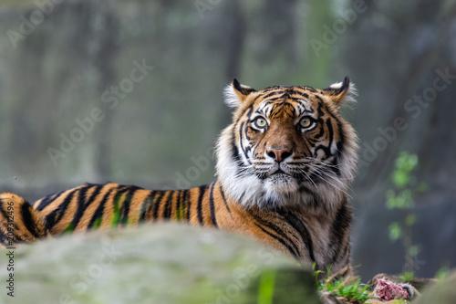 Fototapeta Male sumatran tiger in front of a rocky background