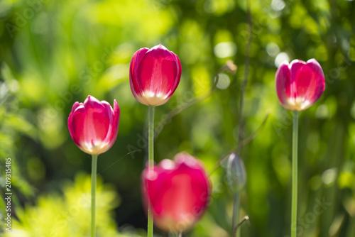 Beautiful tulips on postcard