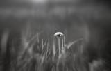 The dandelion meets dawn.The first rais of the sun. - 209316083