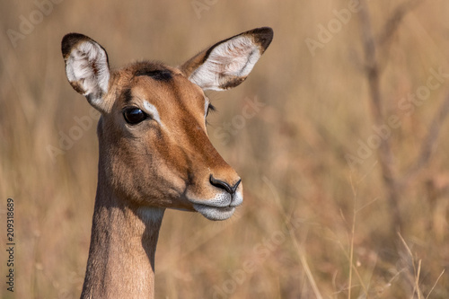 Poster Impala antelope on high alert