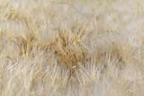 close on  ripe barley in a field  - 209327063