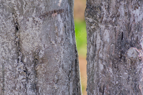 close up of two birch trunks. Natural background - 209331855