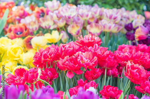 Plexiglas Candy roze field of blooming colorful tulips, spring flowers in the garden
