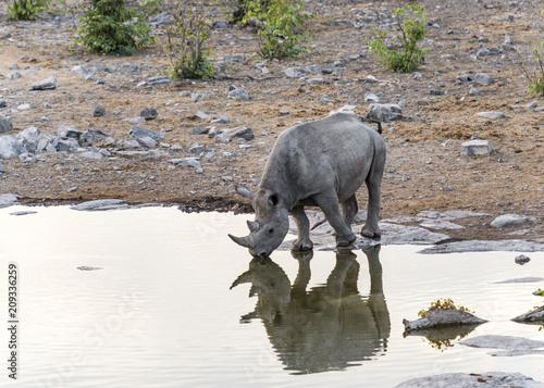 Naklejka Nashorn, Namibia