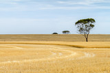 Partially harvested wheat paddock with trees - 209339081