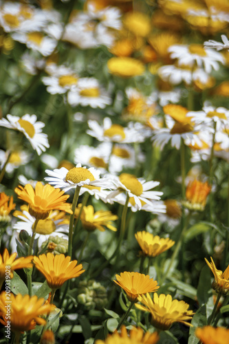 Foto Murales daisies in a meadow blossomed among the yellow flowers