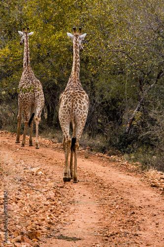 Giraffe walking away