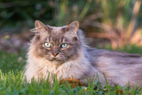 Tiffany cat on the lawn in the garden - 209340809
