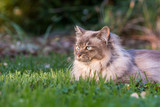Tiffany cat on the lawn in the garden - 209341004