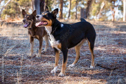 tri coloured and red cloud kelpie in paddock looking for