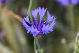 purple flower stamp of a cornflower macro in blurred environment