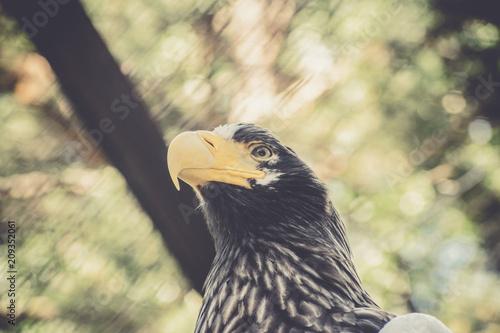 Plexiglas Eagle Portrait of Steller's sea eagle