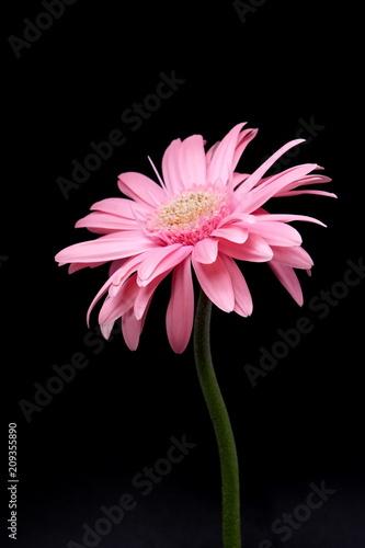 Fotobehang Gerbera pink gerbera flower isolated on black background
