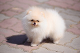 The dog breed Pomeranian is standing on the pavement. - 209357213