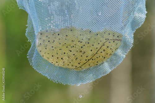 Fotobehang Kikker close up of frog caviar in blue net. Cleaning the pond