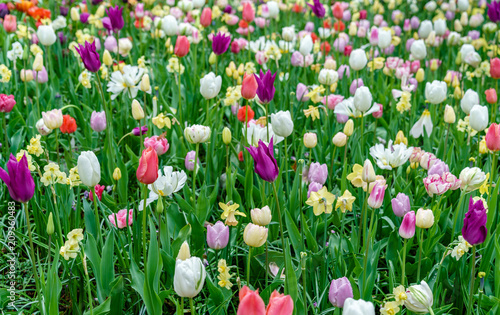 Plexiglas Groene Colorful tulips at the Keukenhof, the Netherlands