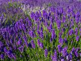 Lavendelfeld in Frankreich - 209363847