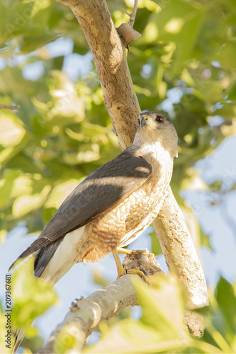 A Cooper's Hawk (Accipiter cooperii) perches in a tree as it feeds on a dove.