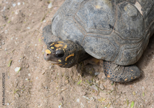 Fotobehang Schildpad Adorable tortoise laying in the sand with yellow marks on its head