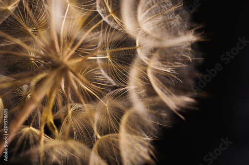 Canvas Paardenbloemen Abstract macro photo of a dandelion on black background.