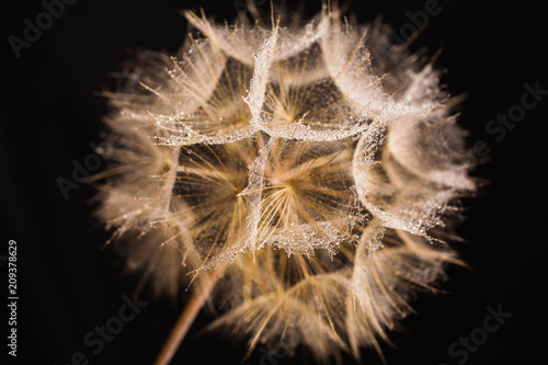 Abstract macro photo of a dandelion with water drops on a black background. Rain drops on a spider web. - 209378629