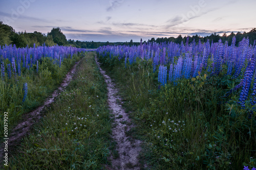Fotobehang Zwart Lupine field