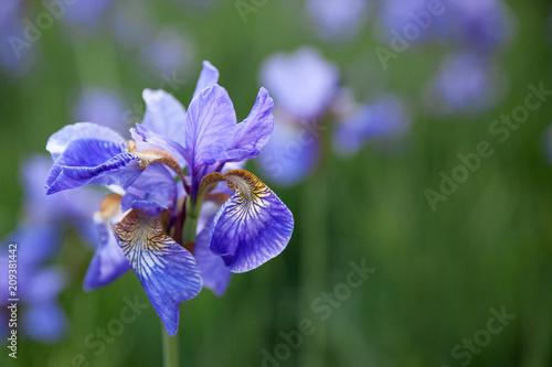 Fotobehang Iris irises flowers at field
