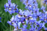irises flowers at field
