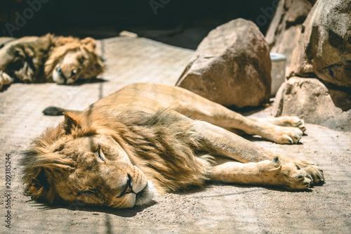 Poster lions asleep