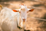 Male Goat on Farm - 209390632