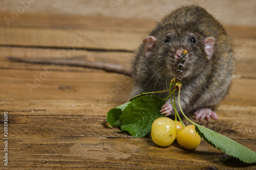 Foto Murales Rat eating yellow cherries on a wooden table.