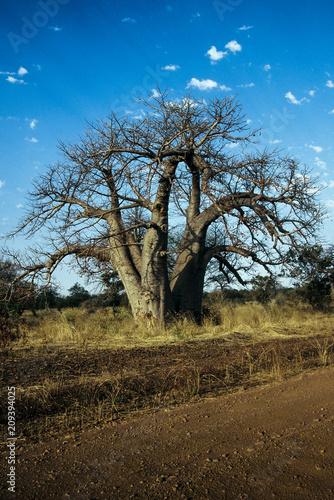 Fotobehang Baobab Senegal Baobab