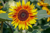 Closeup of a Brilliant Yellow Sunflower facing toward you in the sunlight