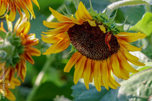 Closeup of a Brilliant Yellow Sunflower hanging downward