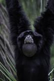 Black Gibbon - 209405811