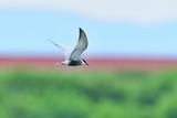 優雅に飛ぶクロハラアジサシ - 209406411