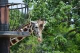 Head of a giraffe - 209410268