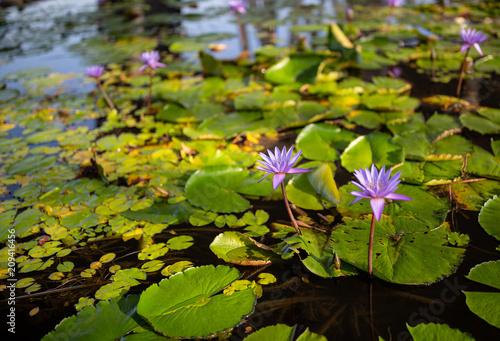 Purple lotus flowers in Singapore