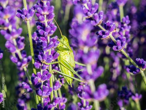 Green Grasshopper on lavender - 209420292
