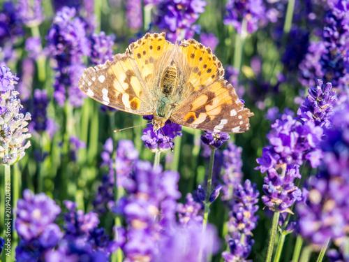 Fotobehang Vlinder Schmetterling im Lavendelfeld