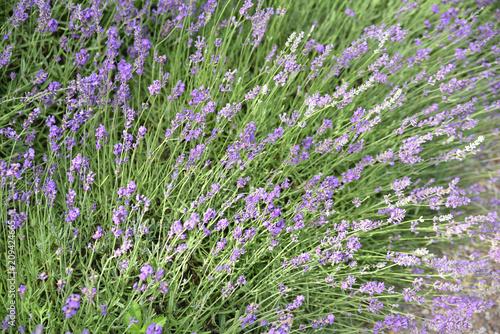 Aluminium Lavendel Lavande au printemps