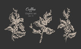 Fototapety Set of coffee tree. Vector vintage illustration