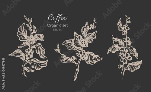 Set of coffee tree. Vector vintage illustration