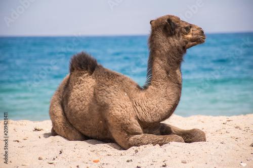 Fototapeta camels in sinai