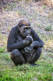 Western lowland gorilla is eating - 209437087